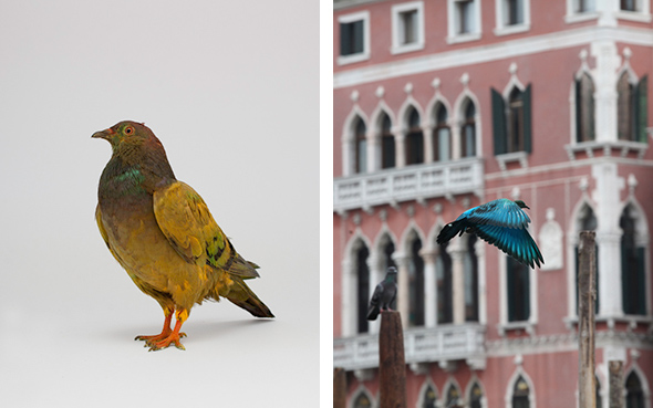 some pigeons are more equal than others (2012); in collaboration with Julian Charriere  Copenhagen, Venice