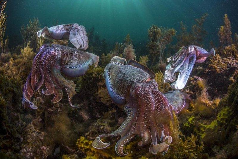 Four psychadelic Giant Cuttlefish swim amongst coral on the ocean floor.