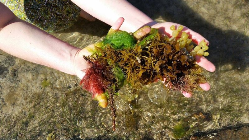 Two hands hold a variety of seaweed above the water