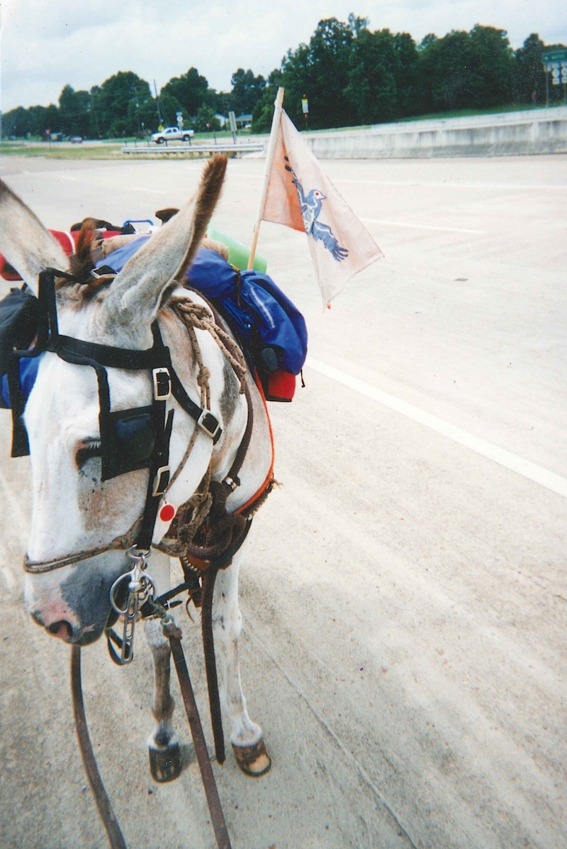 a donkey with blinders and gear packed on their back stands on a dirt road